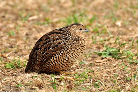 brown quail new zealand birds online