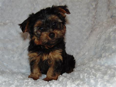 purebred yorkie price 100 purebred terrier price west