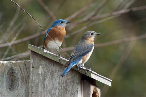 florida native photography bluebird pair