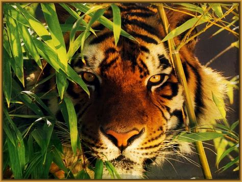 imagenes fondo de pantalla tigre fondos de pantalla de tigres archivos imagenes de tigres