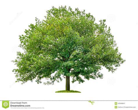 tree image oak tree on a white background stock photo image 40948841