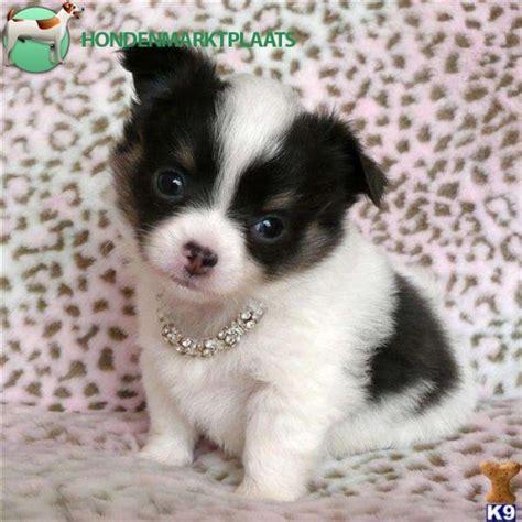 mini pup zeer kleine mini chihuahua pups honden