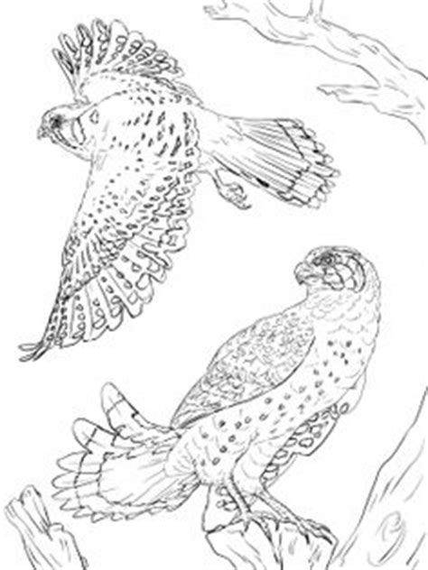 secretary bird coloring page secretary bird other raptor coloring page for the