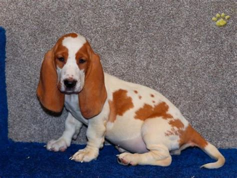 basset hound puppies for sale in michigan basset hound puppies for sale handmade michigan