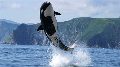 killer whale orca killer whale hd wallpapers