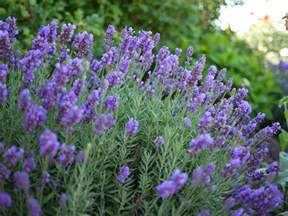 lavender phenomenal wisconsin gardening hot plants