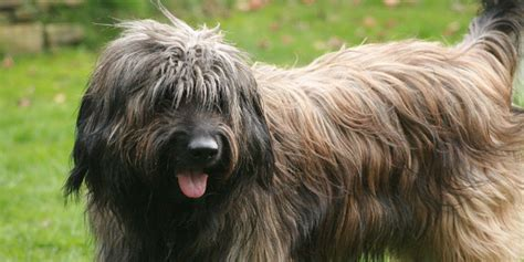 types of sheep dogs image gallery sheepdog breeds