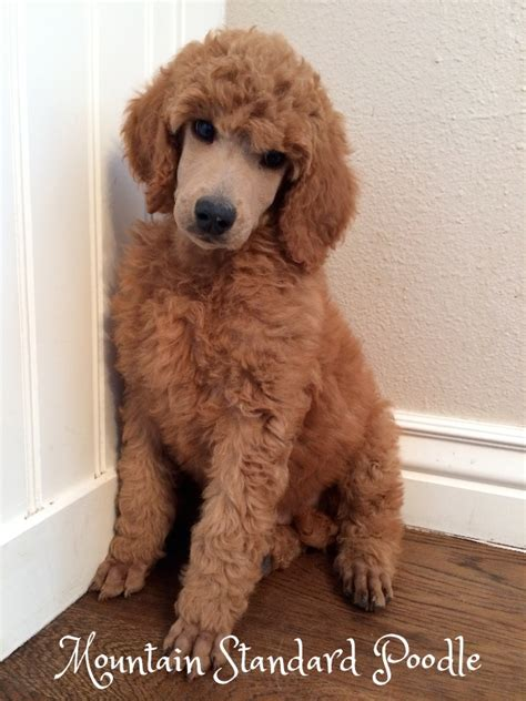 lifespan of standard poodle standard poodle for sale photo