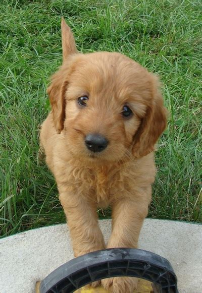 goldendoodle puppies for sale ta doodle goldendoodle puppies for sale eagle valley