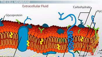 carbohydrates in the cell importance of carbohydrates in the cell membrane
