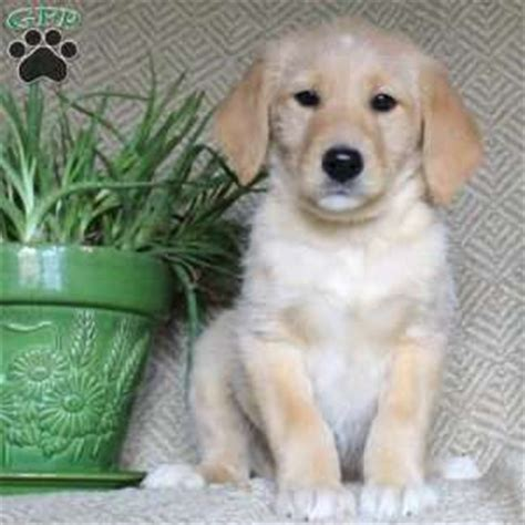 golden retriever puppies maryland for sale golden retriever new breeds picture