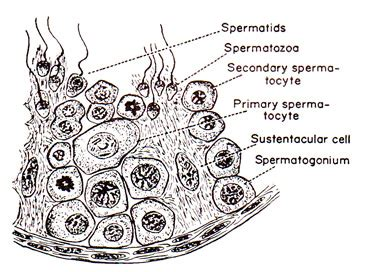 seminiferous tubules diagram the reproductive system anatomy and physiology