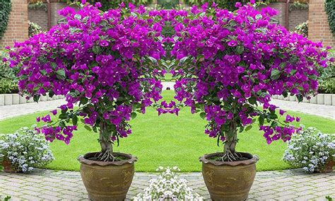 Patio Trees In Pots by Three Looking Patio Trees Groupon Goods