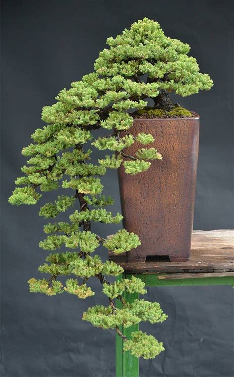 bonsai tree bei 223 en gedanken 22 beautiful bonsai trees that redefine