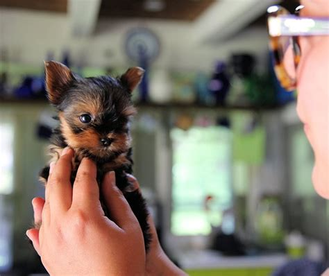 how to your yorkie to on a pad yorkie puppies dogtime
