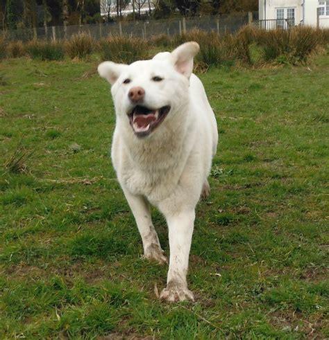 staffy x golden retriever willow the golden retriever german shepherd x needs a new home dawg