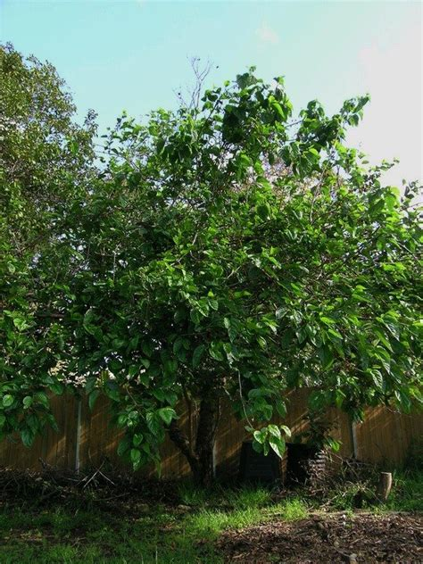 what is a fruitless mulberry tree growing tips and fruitless mulberry care