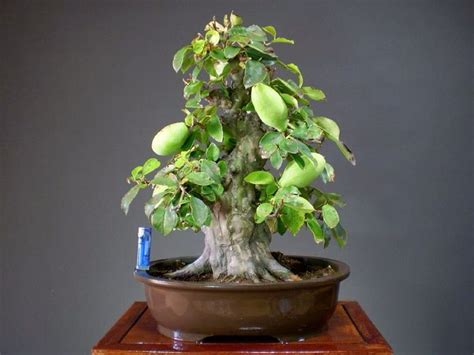 fruit bearing bonsai tree 17 best images about quot fruit bearing bonsai world quot on