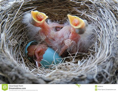 baby robin hatching newly hatched robin stock photography image 9468642