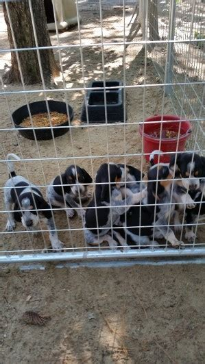 puppies for sale in greenville nc puppies for sale greenville nc