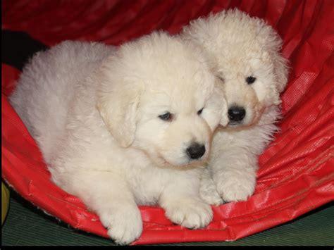 kuvasz puppies for sale kuvasz for sale by szumeria kuvasz american kennel club