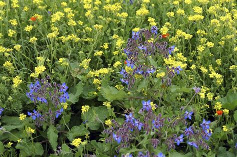 borage and companion planting using borage as a companion