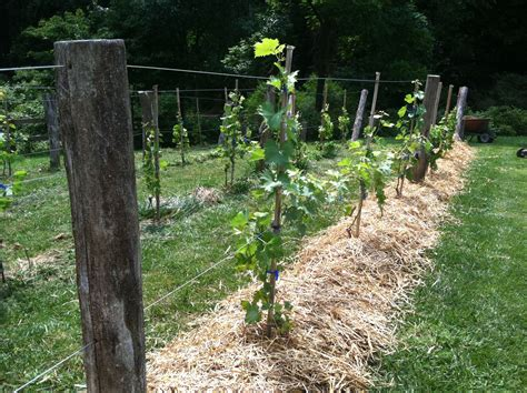 backyard grape vine trellis designs grapevine trellis designs grape trellis with black