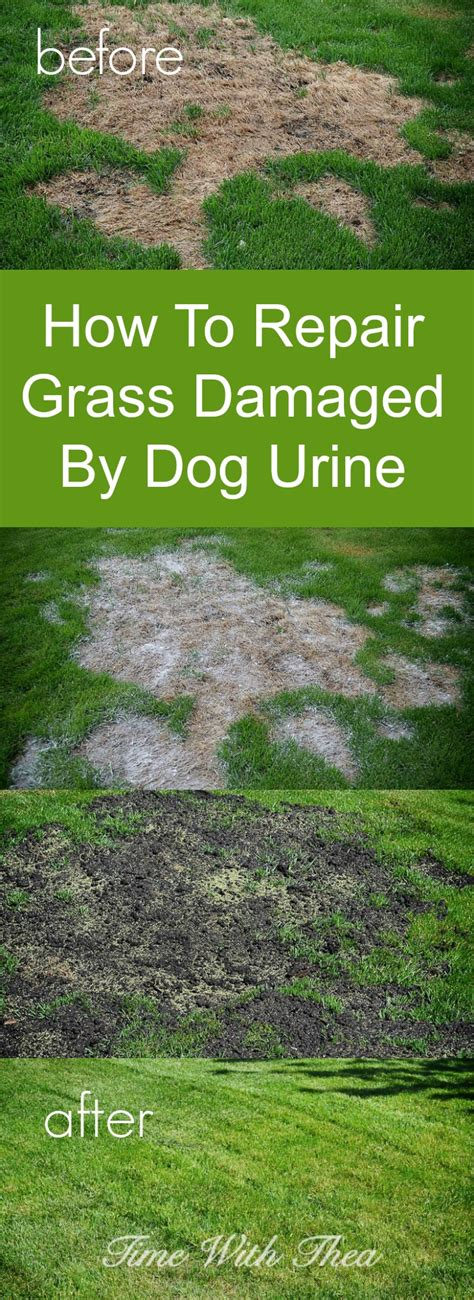 How To Fix A Backyard by How To Repair Grass Damaged By Urine Time With Thea