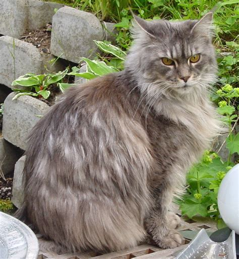 maine coon cat breed large domestic cat breeds our pets we love em