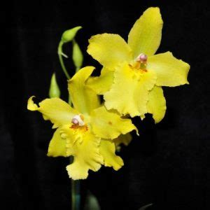 odontoglossum orchids species care plants  sale