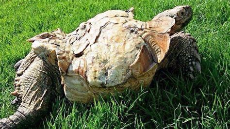 sulcata tortoise bedding tpg photo gallery tortoise protection group