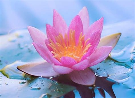 lotus with water lotus water meaning and interpretations