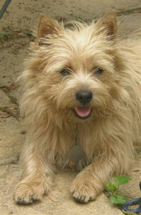 cairn terrier show cut 17 best images about norwich terriers on pinterest