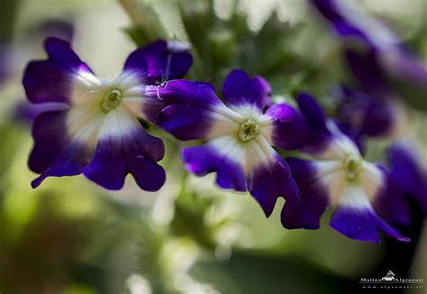 concato fiori di maggio fiori di maggio algranati