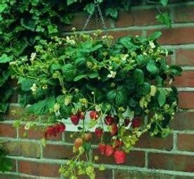 coltivare outdoor in vaso coltivazione fragole frutteto come coltivare le fragole