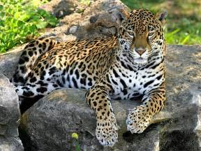 Pic Of Jaguar Wallpapers Panther Wallpapers