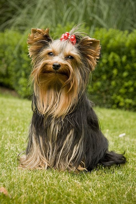 what is the best yorkie terrier shoo out there and condistioner 3 x yorkshire terrier