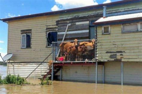 cows seeking safety  bundaberg floods  cattle