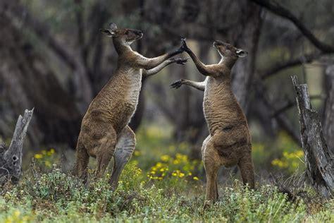 dangerous  kangaroos  people  pets