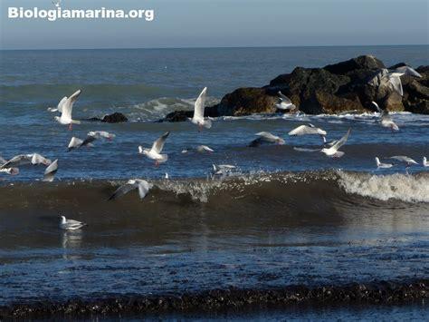 gabbiano comune gabbiano comune 50 biologia marina mediterraneo