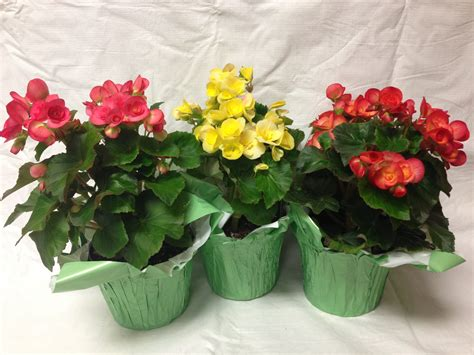 begonias in pots care 28 images artificial potted