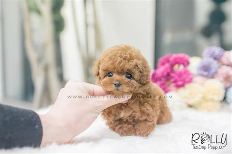 teacup teddy puppies sold to mitchell teddy poodle m rolly teacup puppies