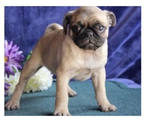 pugs for sale in pittsburgh cutest teacup yorkie puppy animals erie pennsylvania announcement 26396