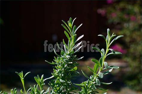 lavender potpourri plant picture