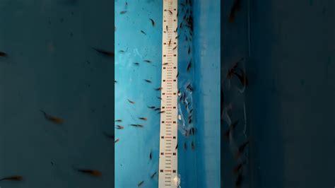 Murah Baby Steps Ikan jual benih ikan koi murah
