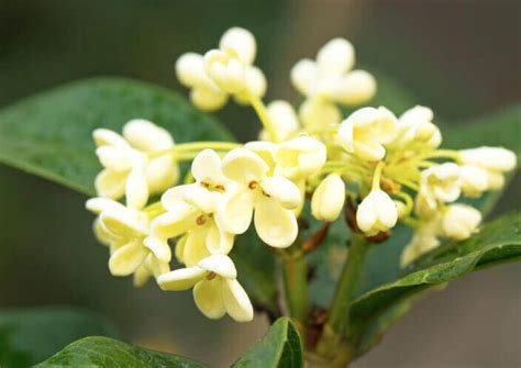 The Fragrant Tea Olive Tree Is a Gardener's Delight