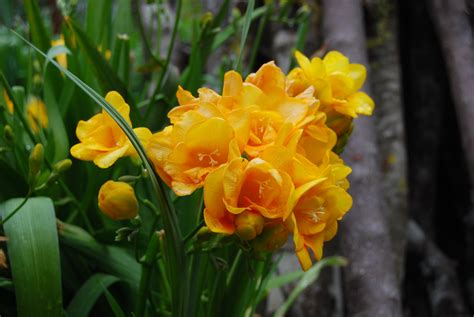 fiori fresia wallpaper yellow flowers freesia