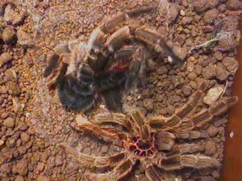chilean rose hair tarantula flips   molting youtube