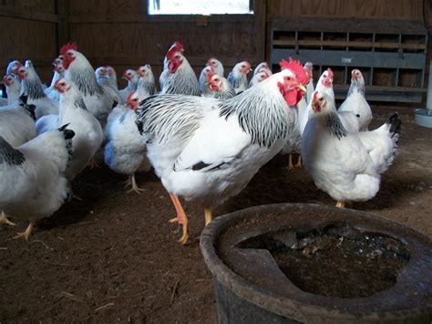 buy plymouth rock chickens where to buy columbian plymouth rock chicken efowl