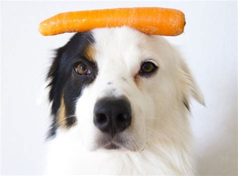 are carrots safe for dogs why carrots are for dogs overview